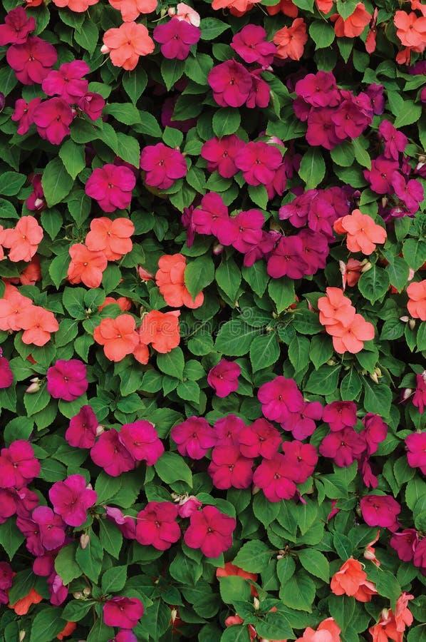 Impatiens Walleriana Sultanii Lizzie Flowers ocupada, modelo vertical colorido detallado grande del primer del fondo, magenta, pú fotos de archivo libres de regalías