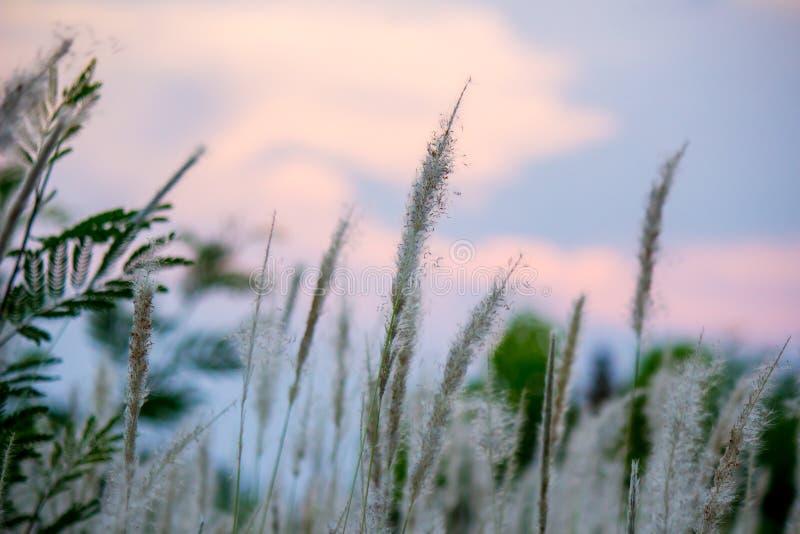 Imperata cylindricacogon gras met zonsonderganghemel op de achtergrond royalty-vrije stock afbeeldingen
