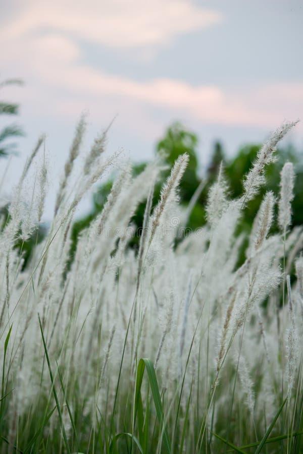 Imperata cylindricacogon gras met zonsonderganghemel op de achtergrond stock afbeeldingen