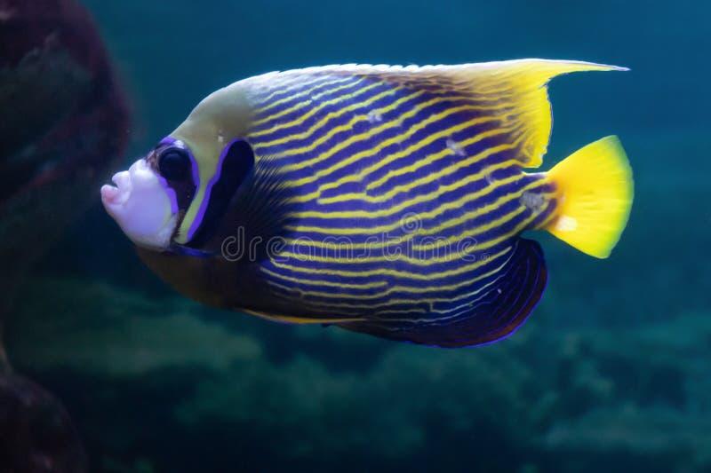 Imperator de Pomacanthus ou poissons de corail exotiques d'ange impérial beaux dans l'aquarium image libre de droits