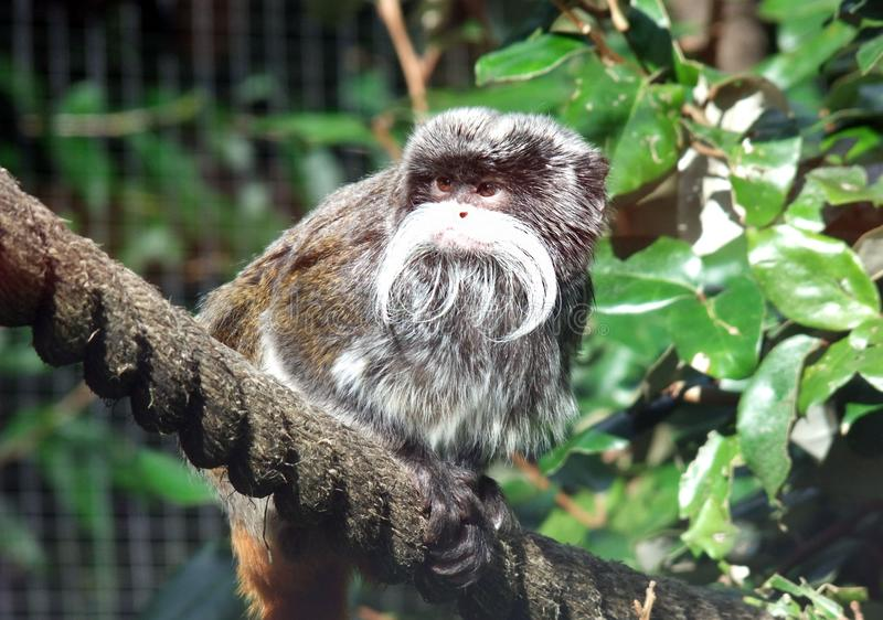 Imperator de Saguinus do Tamarin do imperador foto de stock