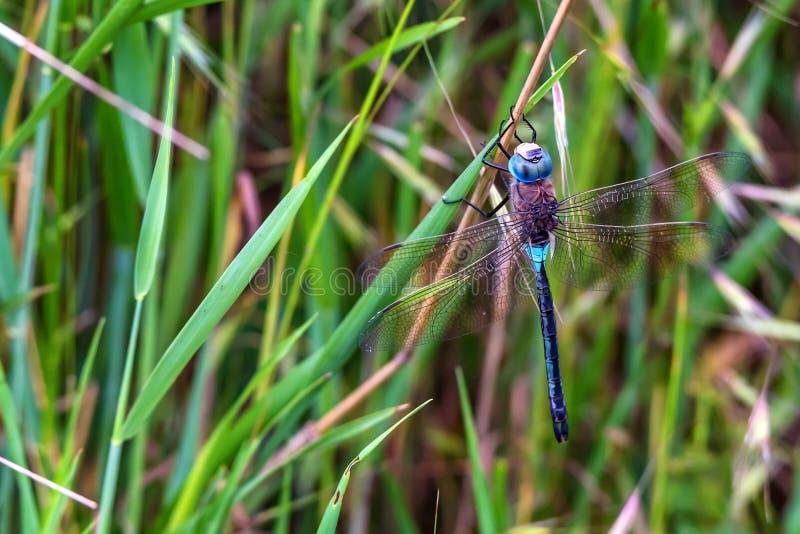 Imperator Dragonfly или Anax императора на траве стоковое фото