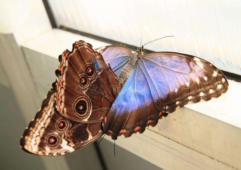 Imperatori accoppiamento delle farfalle fotografia stock libera da diritti
