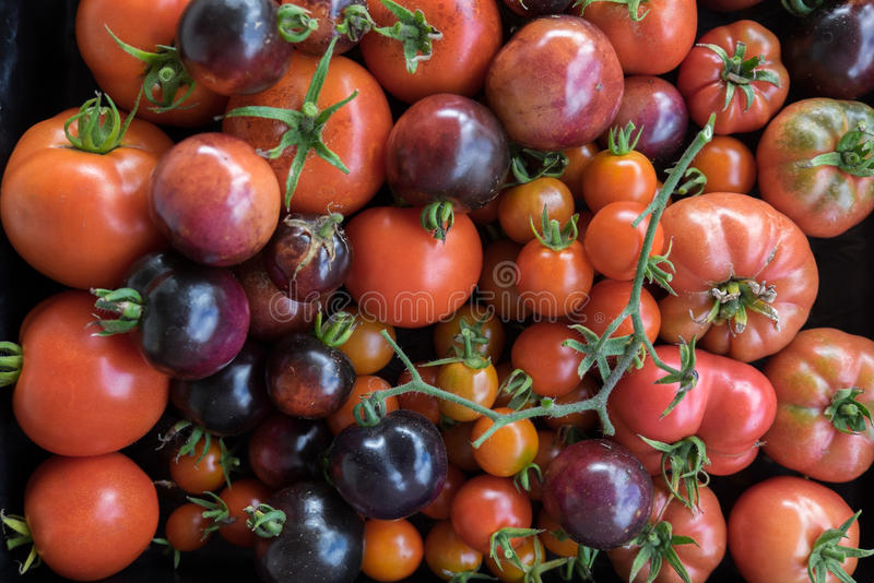 Imperfect homegrown heirloom and hybrid tomatoes. Imperfect homegrown red and purple heirloom and hybrid tomatoes stock image