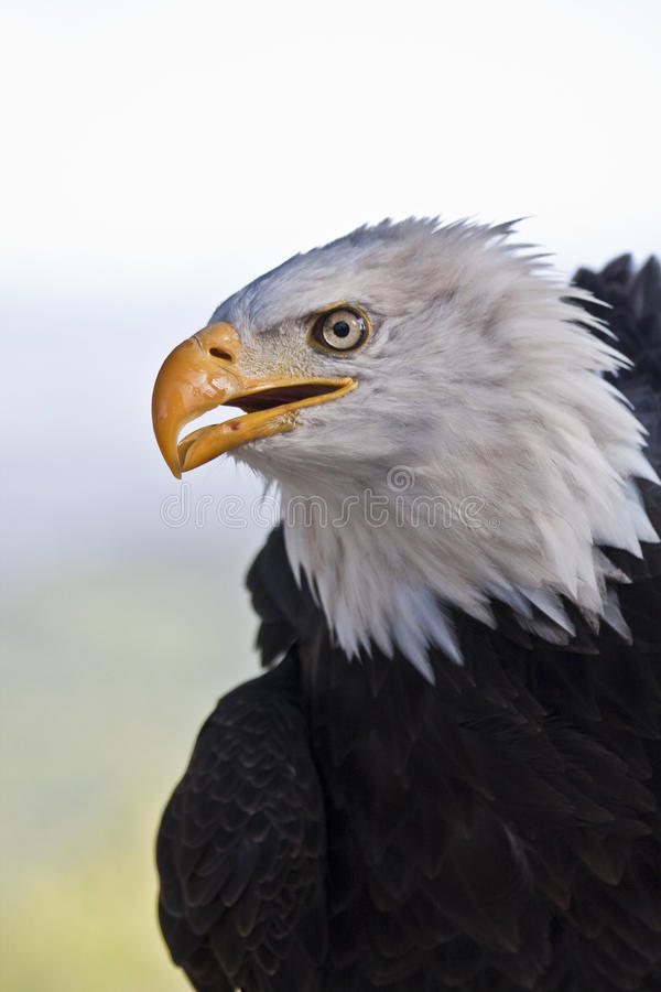 Download Imperial Eagle stock image. Image of glossy, elegant - 21605869