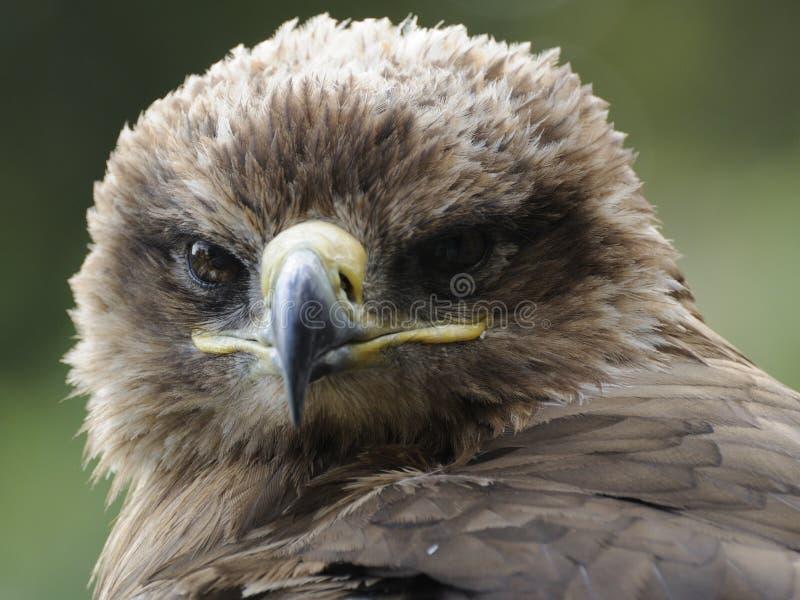 Imperial Eagle (Aquila heliaca) royalty free stock photo