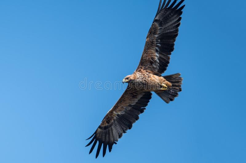 Imperial Eagle in Hong Kong Formal Name: Aquila heliaca royalty free stock images