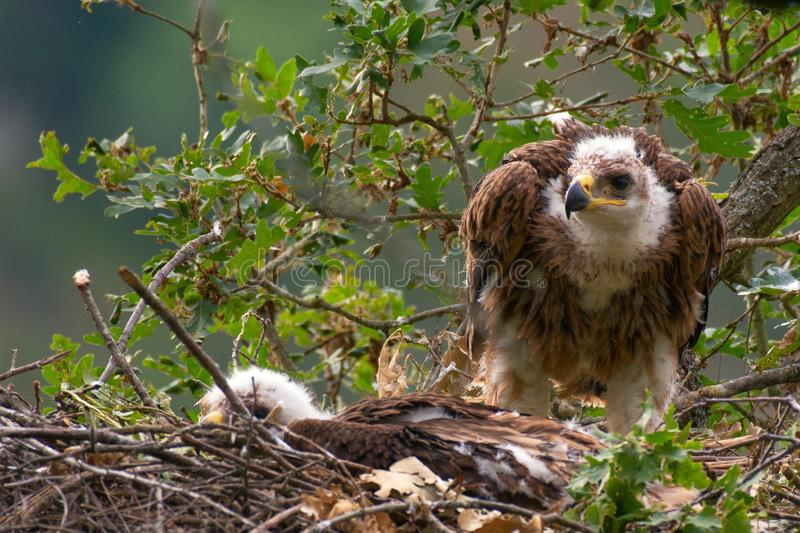 Imperial Eagle nest. Forest background. Aquila heliaca stock photography