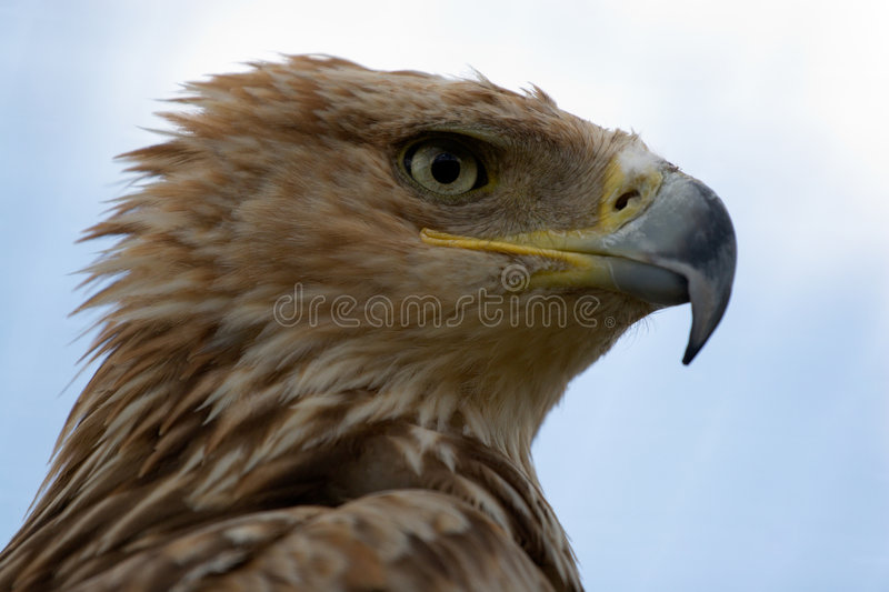 Imperial Eagle portrait royalty free stock photography