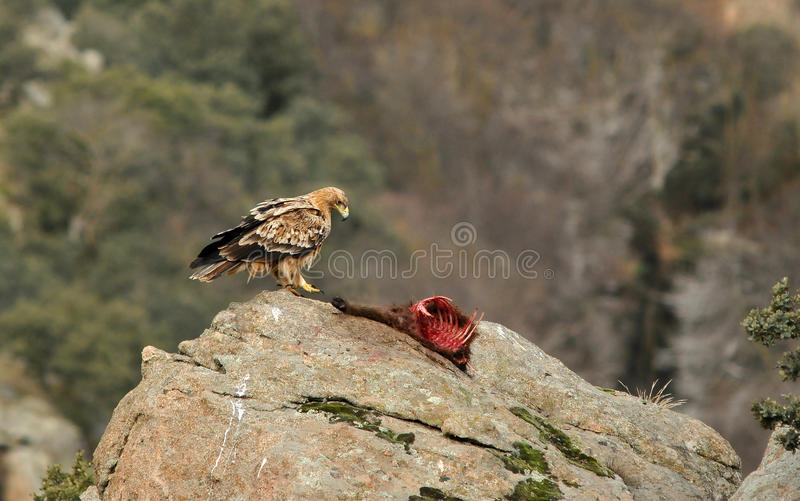 Imperial eagle with prey remains. Young imperial eagle with prey remains royalty free stock photo