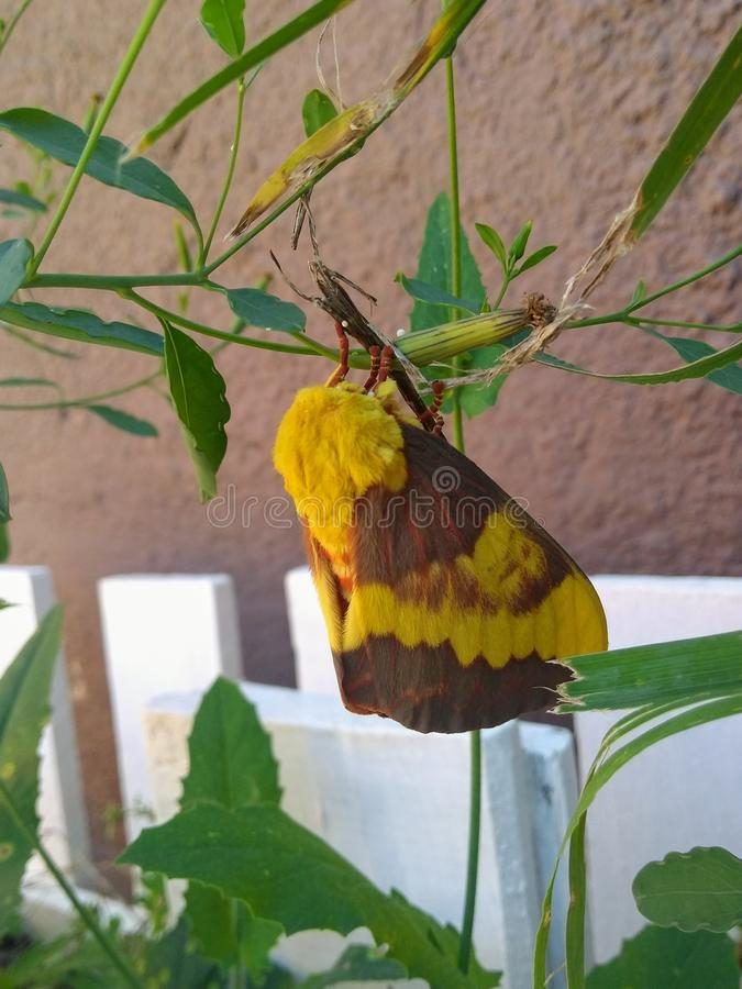 Imperial Moth stock images