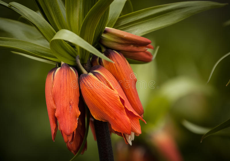 Imperialis 'Aurora' do Fritillaria imagem de stock royalty free