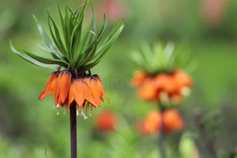 Imperialis de Fritillaria image stock