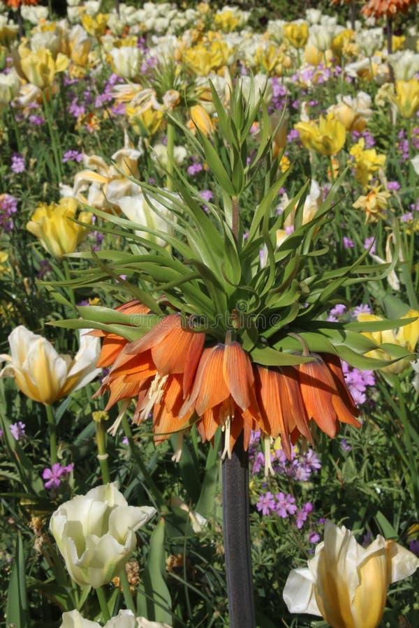 Imperialis de Fritillaria, jardins de Keukenhof photo stock