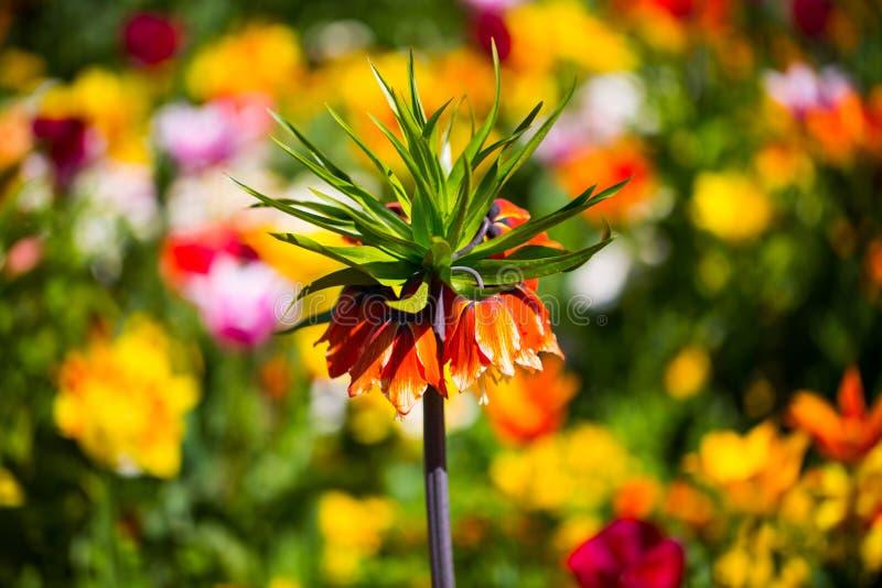 Imperialistisk krona, Fritillariaimperialis i mitt av tulpan royaltyfria foton