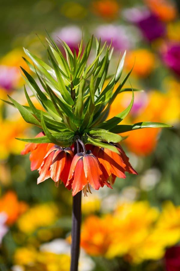Imperialistisk krona, Fritillariaimperialis i mitt av tulpan royaltyfria bilder