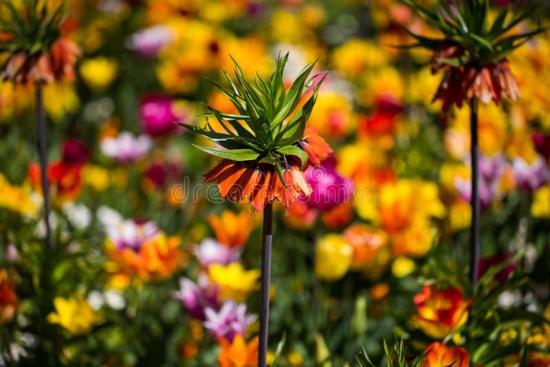 Imperialistisk krona, Fritillariaimperialis i mitt av tulpan royaltyfri foto