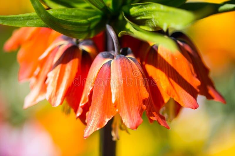 Imperialistisk krona, Fritillariaimperialis i mitt av tulpan royaltyfri bild