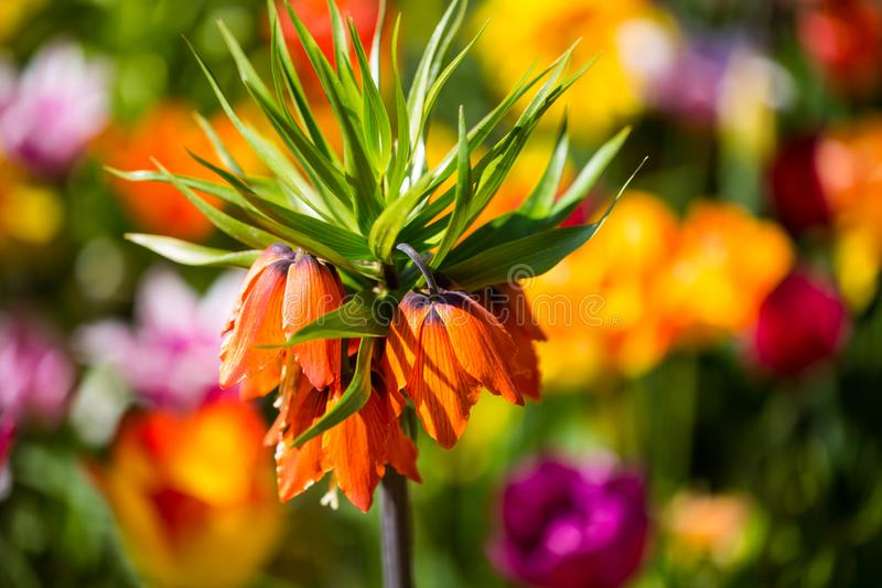 Imperialistisk krona, Fritillariaimperialis i mitt av tulpan arkivfoton