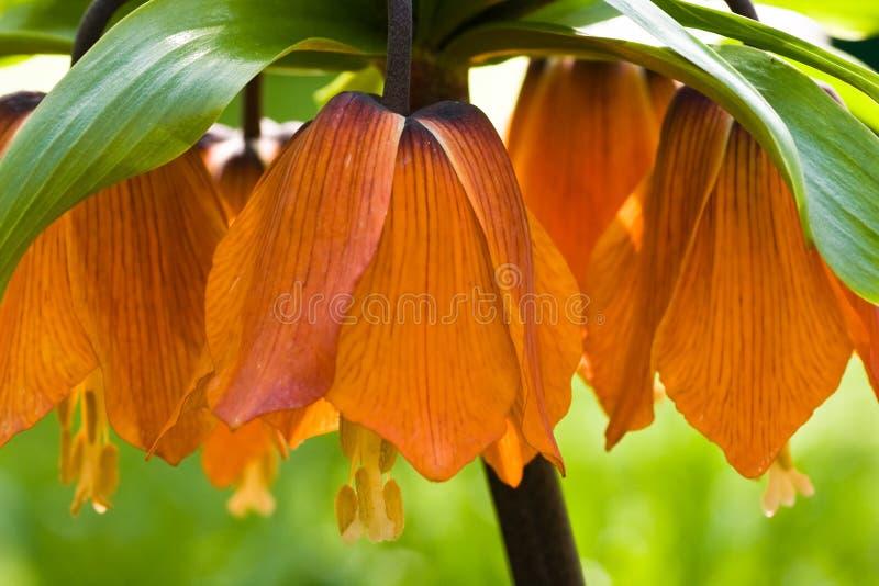 imperialistisk orange för krona fotografering för bildbyråer