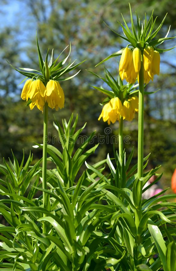 Imperialistiskt för Fritillariaimperialis'Maxima Lutea '- gult krona royaltyfri foto