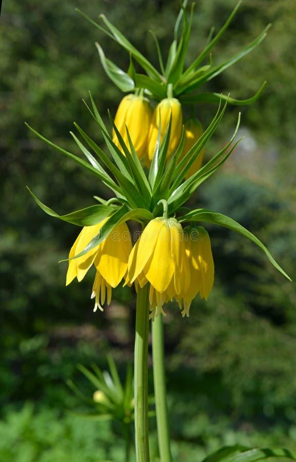 Imperialistiskt för Fritillariaimperialis'Maxima Lutea '- gult krona i vår arkivbild