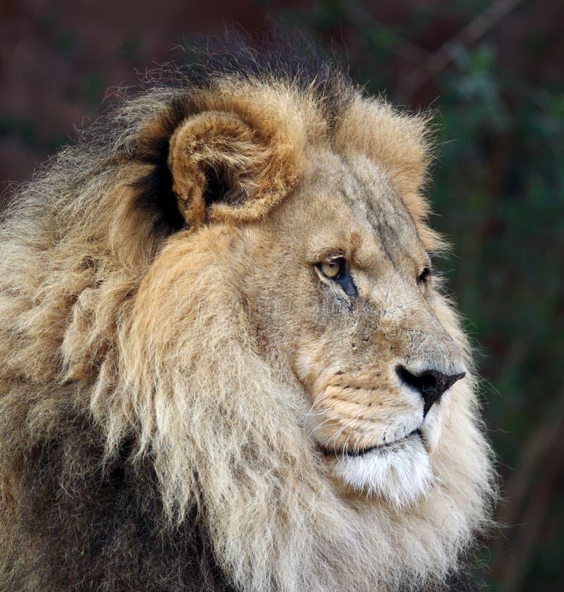 Imperious Male Lion arkivfoton