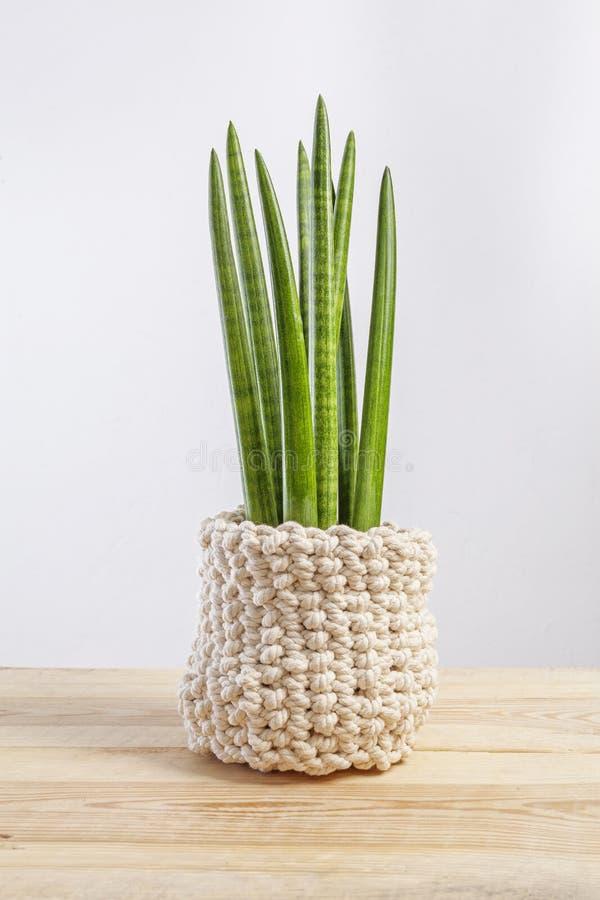Impianto decorativo per la casa - Sansevieria cilindrica su una vasca a maglia fotografie stock