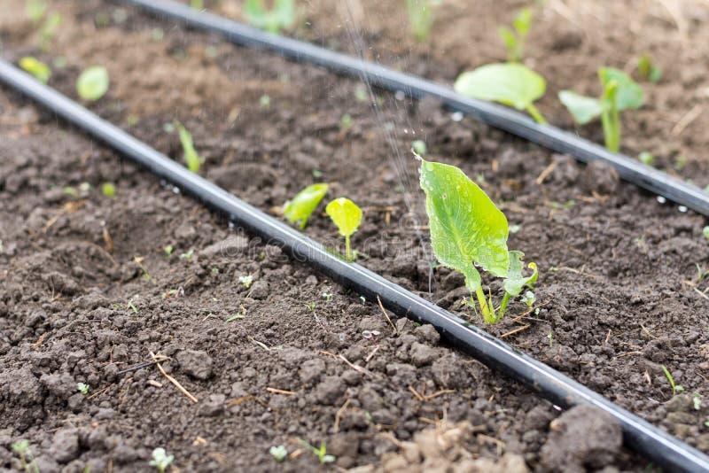 Impianto di irrigazione nella serra immagine stock for Irrigazione serra