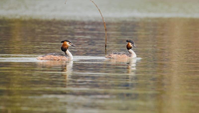 Impianto idraulico Duck Prophet del fiume della primavera fotografia stock