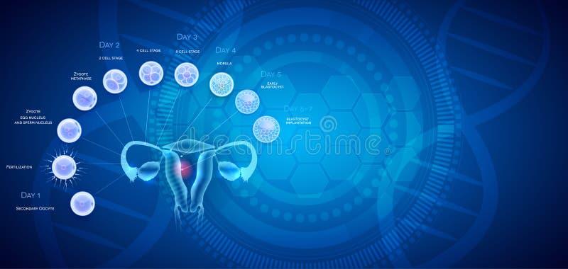 Implantation de fertilisation de cellules d'anatomie d'utérus illustration de vecteur