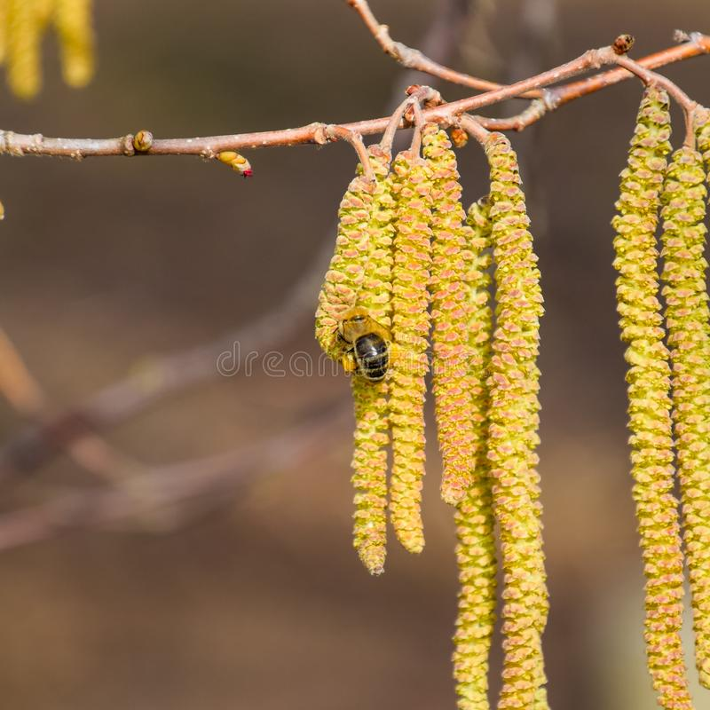 Impollinazione dalla nocciola degli orecchini delle api Nocciola nocciola di fioritura fotografia stock