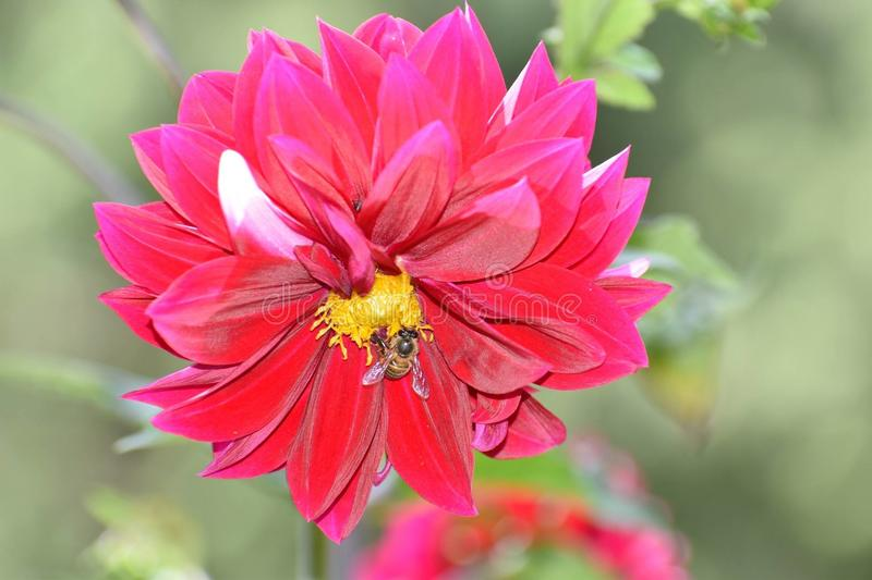 Impollinazione del fiore da Honey Bee fotografia stock libera da diritti