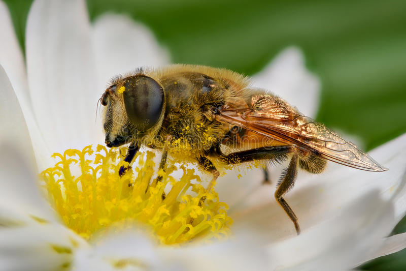 Impollinazione dell'ape fotografie stock libere da diritti
