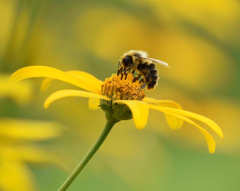 Impollinazione dell'ape fotografie stock