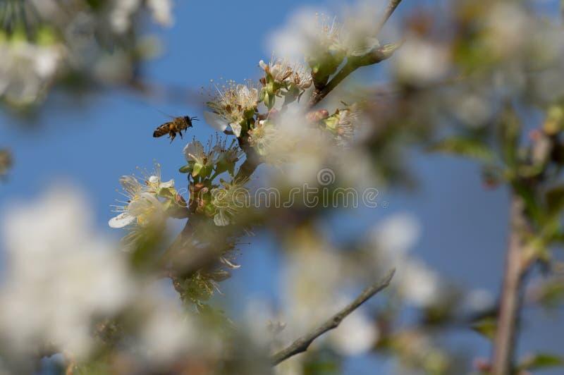 Impollinazione della primavera fotografia stock libera da diritti