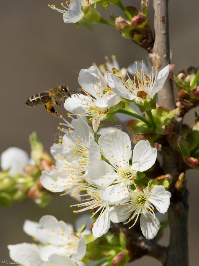 Impollinazione della primavera immagine stock libera da diritti