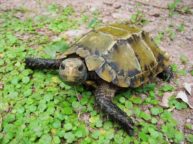 imponerad sköldpadda arkivbilder