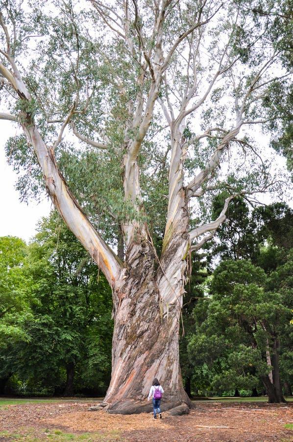 Imponerande träd i den Christchurch botaniska trädgården, Nya Zeeland royaltyfria foton