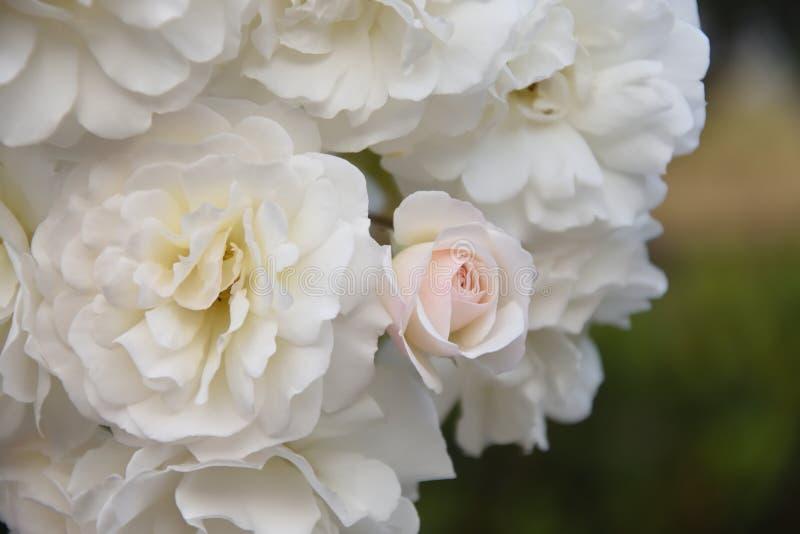 Imponująco miękkie białe floribunda róże obraz stock