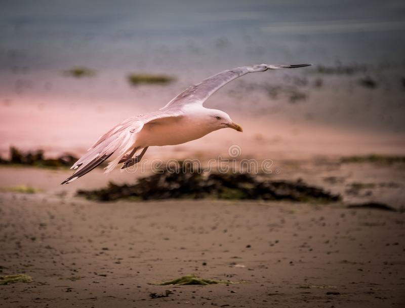 bird alone gull in summer on the beach in flight in color on pink and gray sky backgrounds stock photos