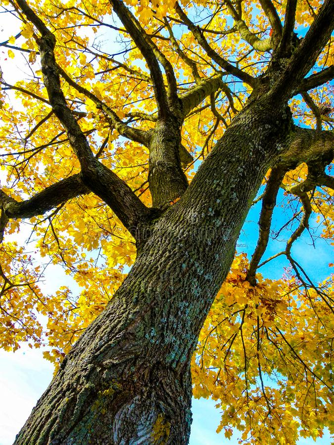 Imposing ahron tree in steep perspective with golden yellow leaves roof with blue sky stock image