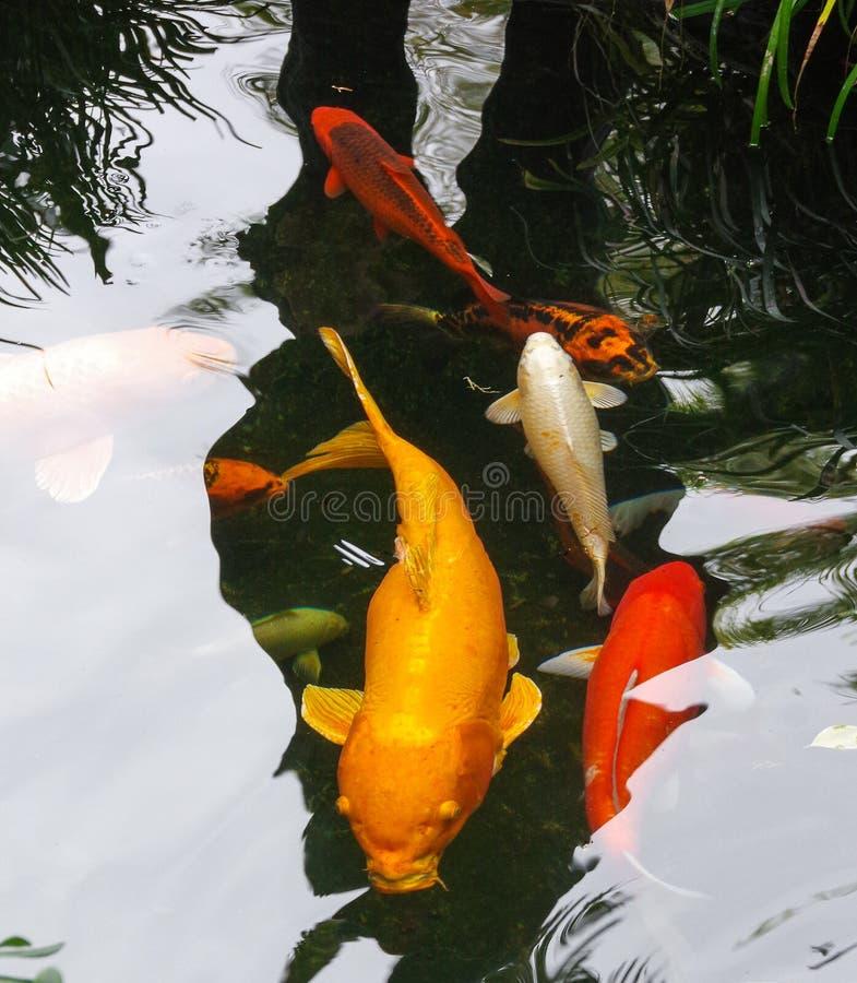 Large golden koi glides past several multi-colored companions. An impressive, large golden koi glides among smaller, brightly-colored companions in a koi pond stock images