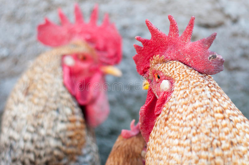 Imposing roosters. With dangerous looks stock photography