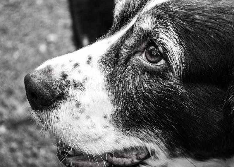imposta della volta inglese dello spaniel del cane immagini stock libere da diritti