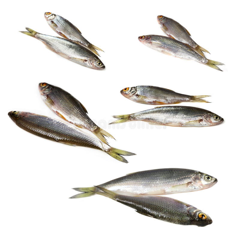 Imposti i pesci del fiume del ofr fotografia stock for Pesci di fiume