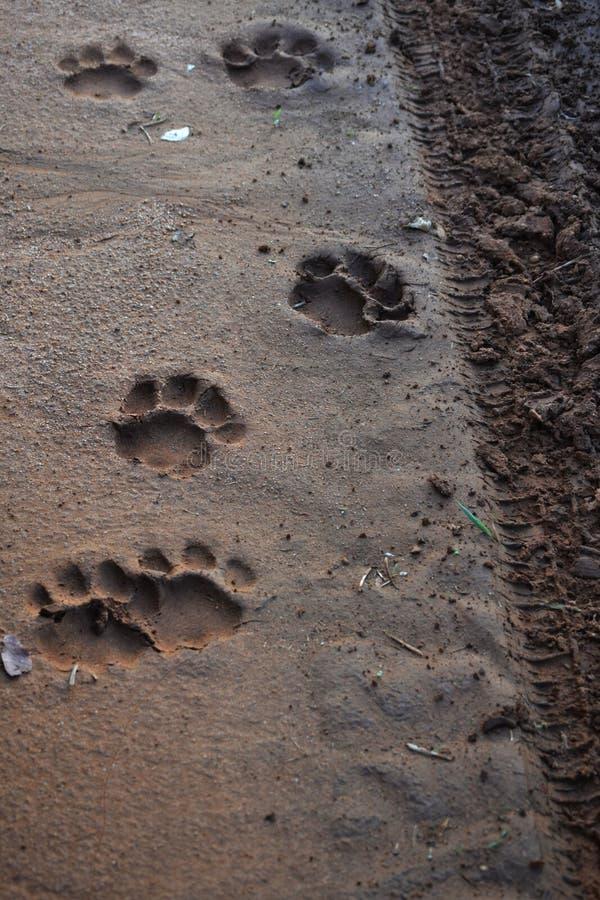 Impresiones de la pata del león fotografía de archivo