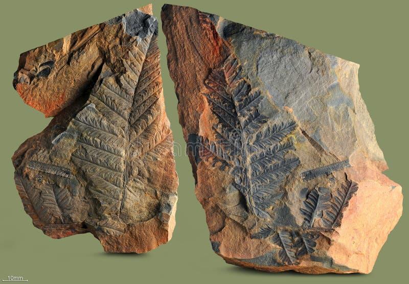 Impresiones de plantas antiguas foto de archivo