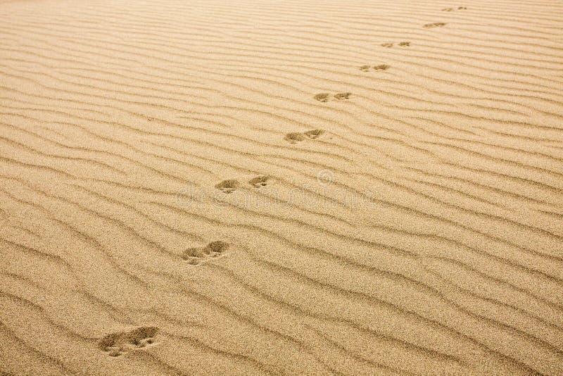 Impresiones del animal en arena imagenes de archivo
