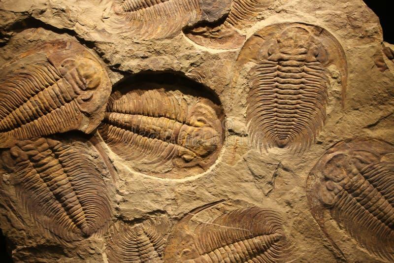 Impressão fóssil do trilobite no sedimento fotografia de stock